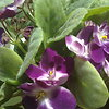 My violets Мои фиалки